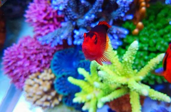 サンゴと小型ヤッコの飼育