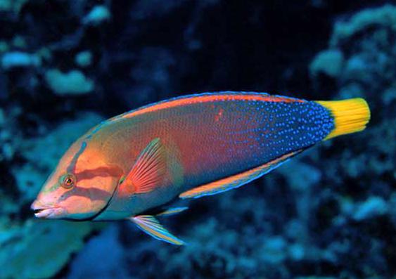 ツユベラの成魚