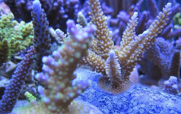 水質の良い環境で良く育つサンゴ